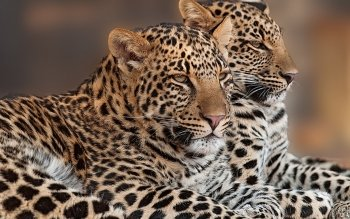 Animalia - Leopard Wallpapers and Backgrounds ID : 464656