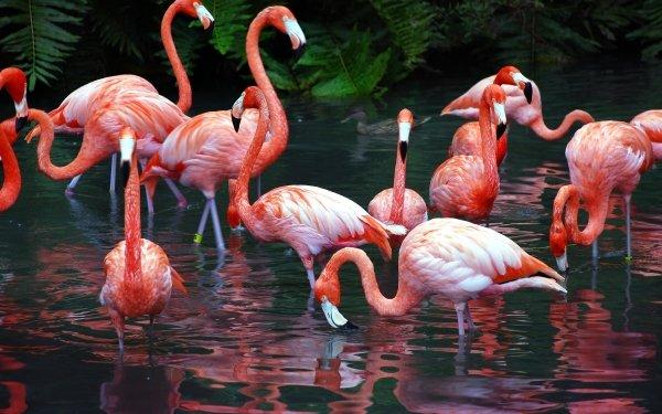 Animal Flamingo Birds Flamingos HD Wallpaper | Background Image
