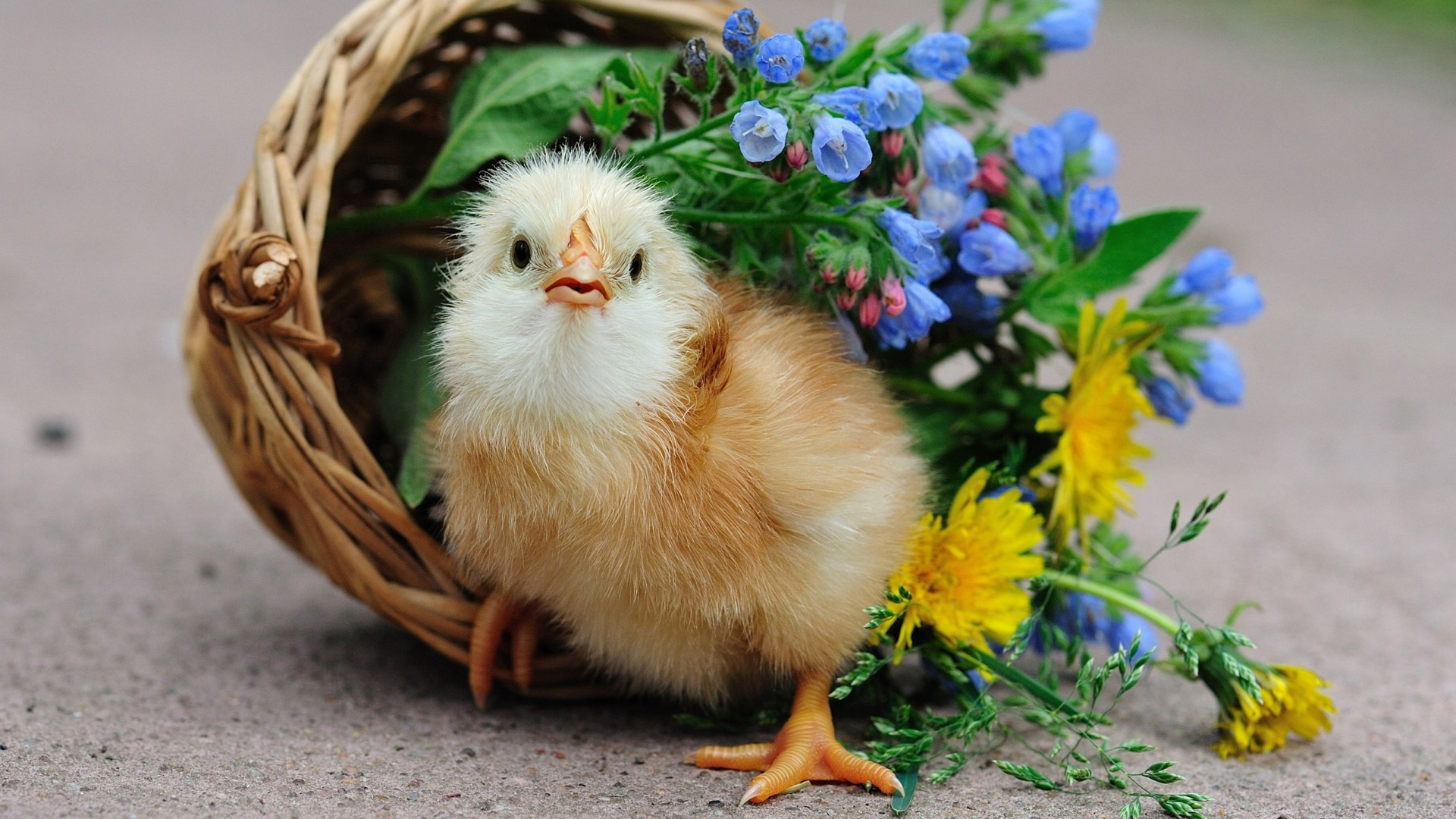 chicken full hd wallpaper and background image | 1920x1080 | id:466403