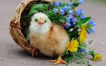 Animal - Chicken Wallpapers and Backgrounds ID : 466403