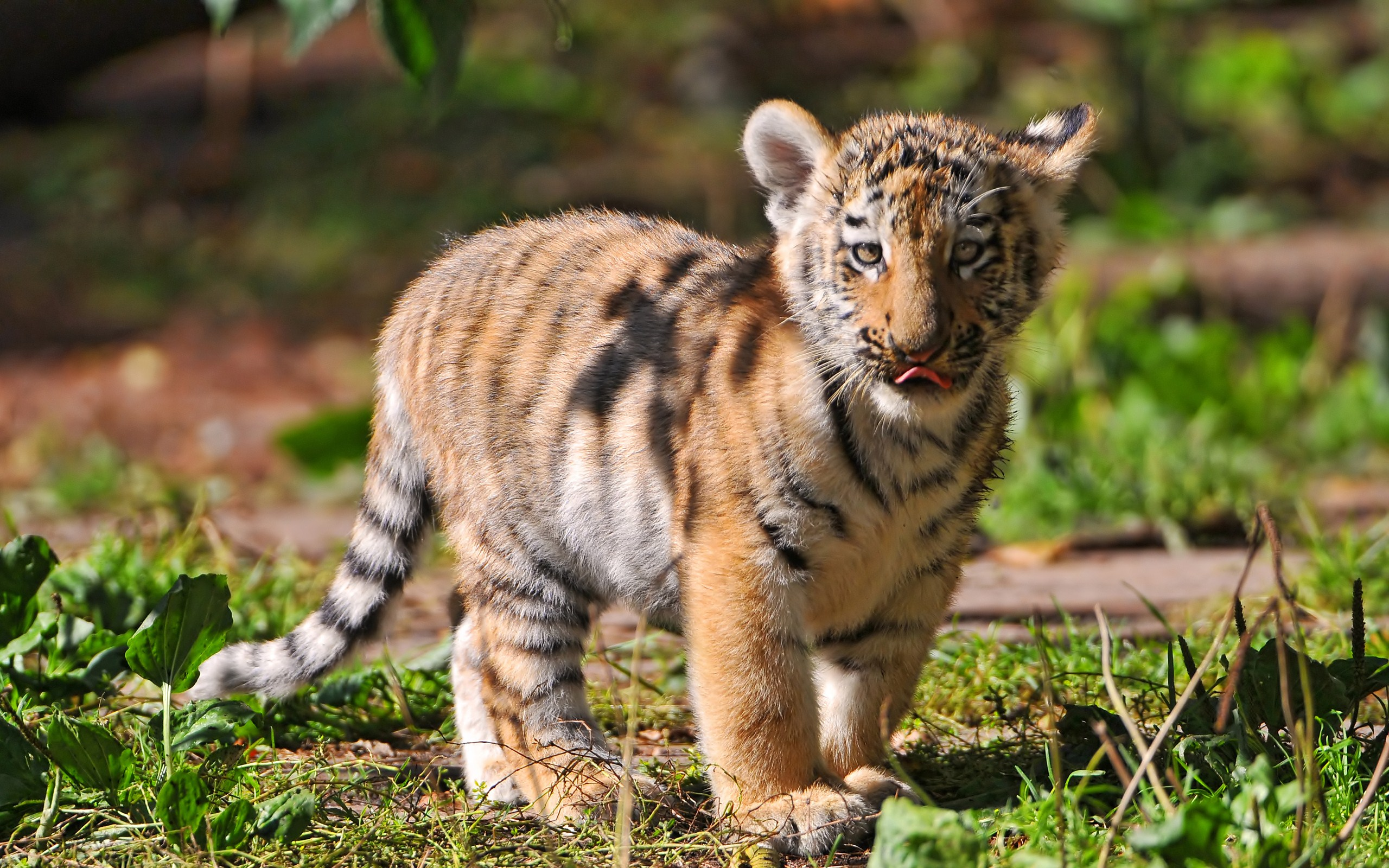 Baby tiger iphone wallpaper - photo#27