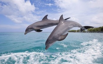 Animal - Dolphin Wallpapers and Backgrounds ID : 470594