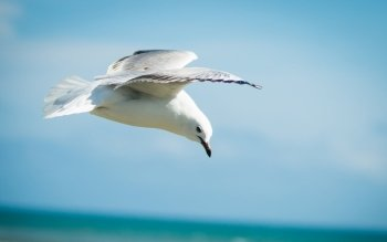 Animalia - Seagull Wallpapers and Backgrounds ID : 473243