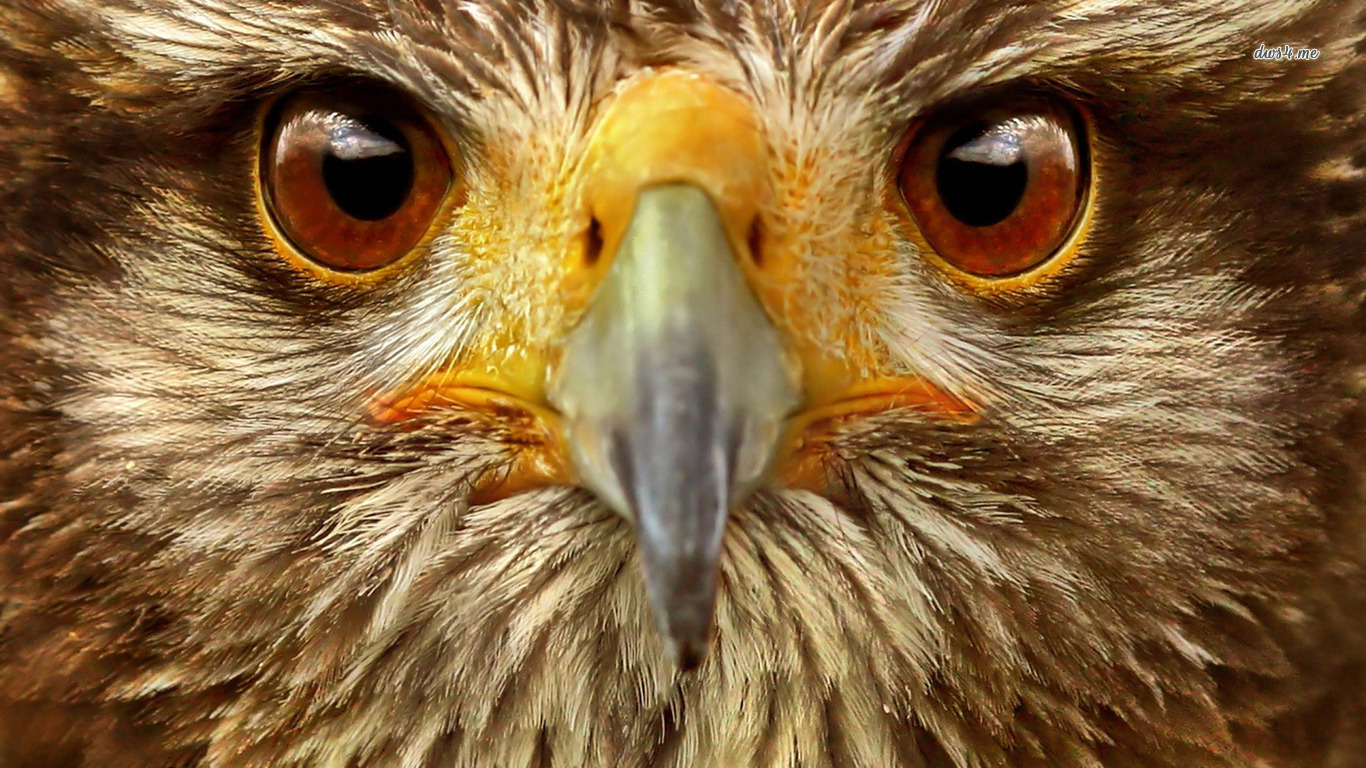 Hawk wallpaper and background image 1366x768 id 475704 - Hawk iphone wallpaper ...