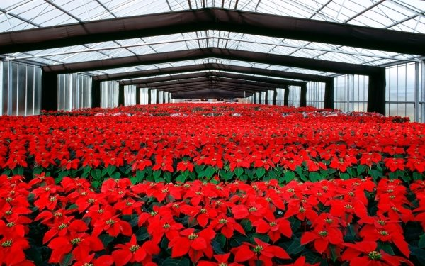 Man Made Flower Red Flower Poinsettia HD Wallpaper   Background Image