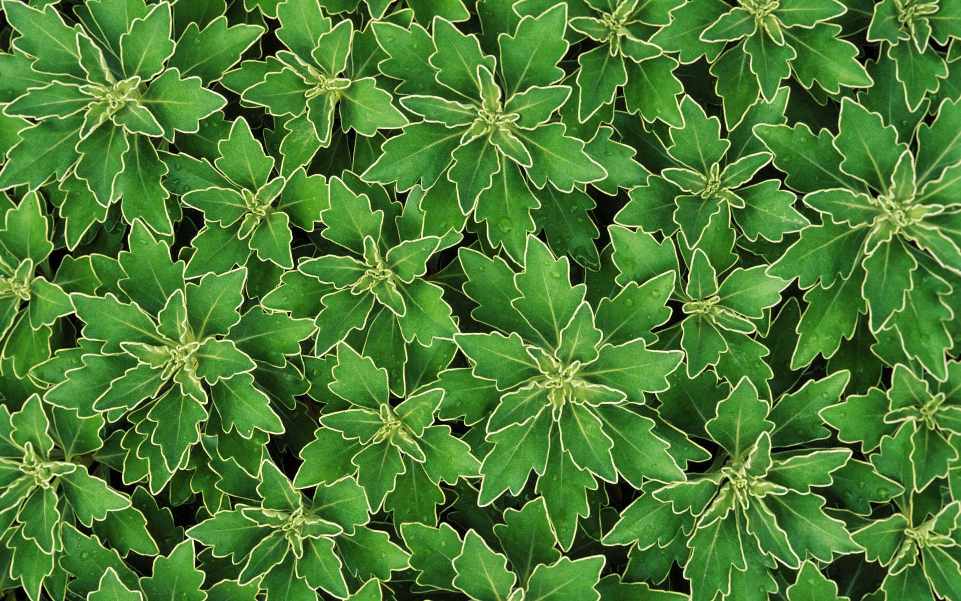 sedum plant hd wallpaper - photo #48