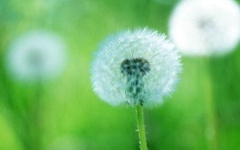 Earth - Dandelion Wallpapers and Backgrounds ID : 478348