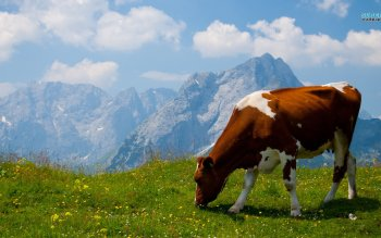 Animal - Cow Wallpapers and Backgrounds ID : 479452