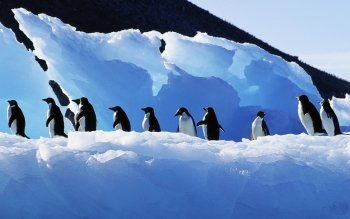Animal - Penguin Wallpapers and Backgrounds ID : 480596