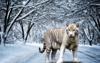 Dierenrijk - White Tiger Wallpapers and Backgrounds ID : 480924