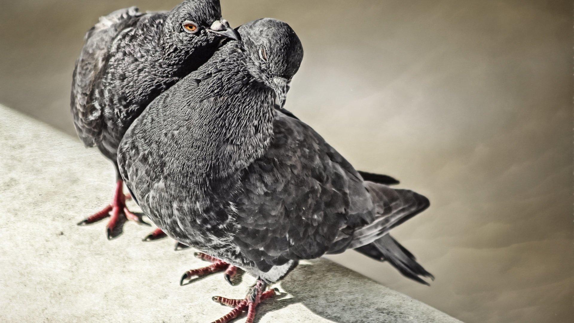 动物 - 鸽子  鸟 动物 壁纸