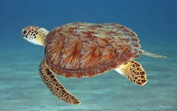 Animalia - Tortuga Wallpapers and Backgrounds ID : 485904