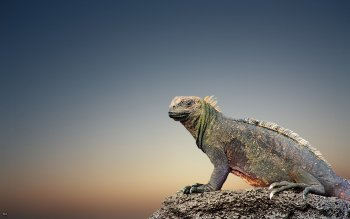 Animal - Iguana Wallpapers and Backgrounds ID : 491939