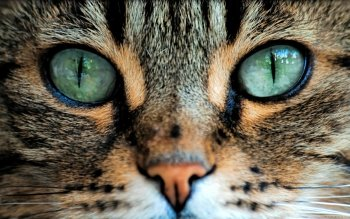 Animal - Cat Wallpapers and Backgrounds ID : 492152