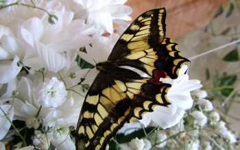 Animal - Butterfly Wallpapers and Backgrounds
