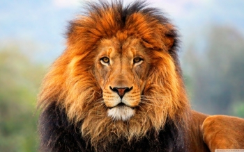 Animalia - León Wallpapers and Backgrounds ID : 494832