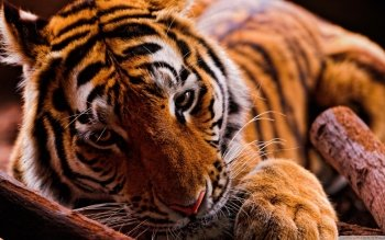 Animalia - Tigre Wallpapers and Backgrounds ID : 496385