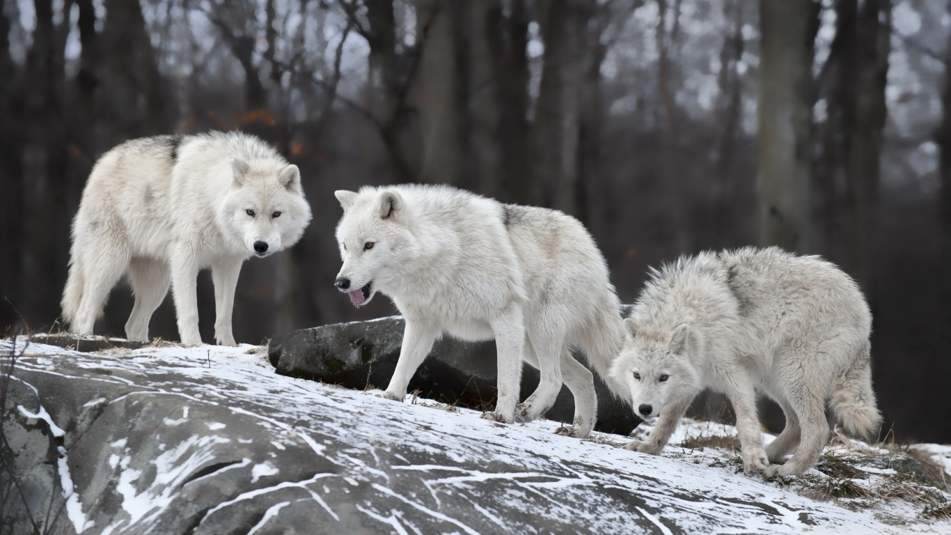 wolf wallpapers ndash animal - photo #21