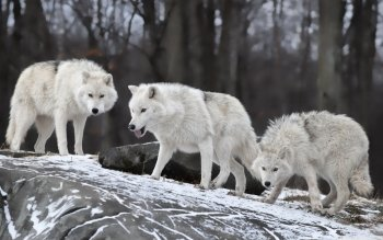 Animal - Wolf Wallpapers and Backgrounds ID : 498032