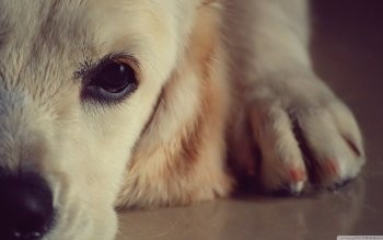 Animal - Golden Retriever  Wallpapers and Backgrounds ID : 499158
