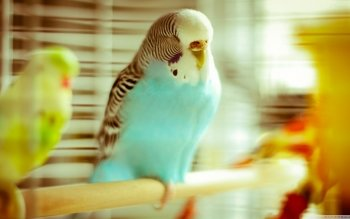Animalia - Budgie Wallpapers and Backgrounds ID : 499160