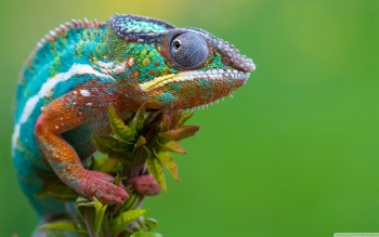 Animalia - Chameleon Wallpapers and Backgrounds ID : 500100