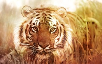 Animal - Tiger Wallpapers and Backgrounds ID : 500272