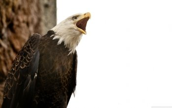 Animal - Eagle Wallpapers and Backgrounds ID : 500323