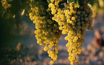 Food - Grapes Wallpapers and Backgrounds ID : 500908