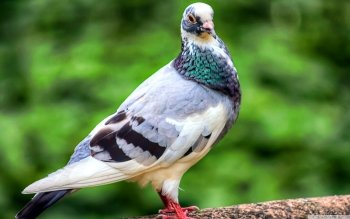Animal - Pigeon Wallpapers and Backgrounds ID : 501366