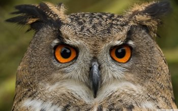 Animal - Owl Wallpapers and Backgrounds ID : 501370