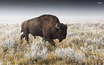 Animal - Buffalo Wallpapers and Backgrounds ID : 501389