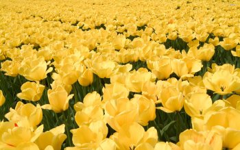 Earth - Tulip Wallpapers and Backgrounds ID : 501729