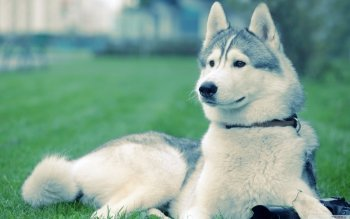 Animal - Husky Wallpapers and Backgrounds ID : 502058