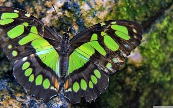 Animal - Butterfly Wallpapers and Backgrounds ID : 503779