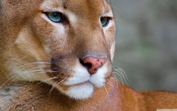 Animal - Cougar Wallpapers and Backgrounds ID : 504053