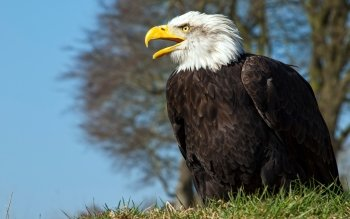 Animal - Eagle Wallpapers and Backgrounds ID : 504664