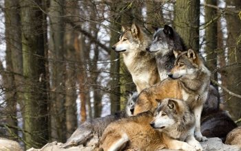 Animal - Wolf Wallpapers and Backgrounds ID : 505488