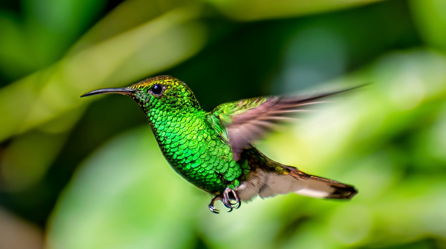 hummingbird wallpaper hd