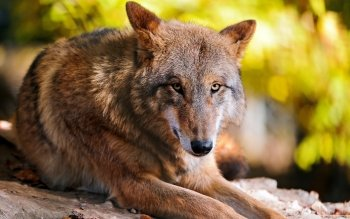 Animal - Wolf Wallpapers and Backgrounds ID : 508244