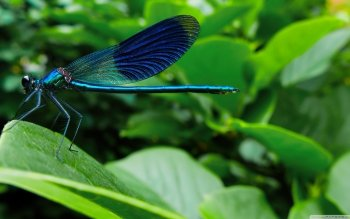 Animal - Dragonfly Wallpapers and Backgrounds ID : 509035