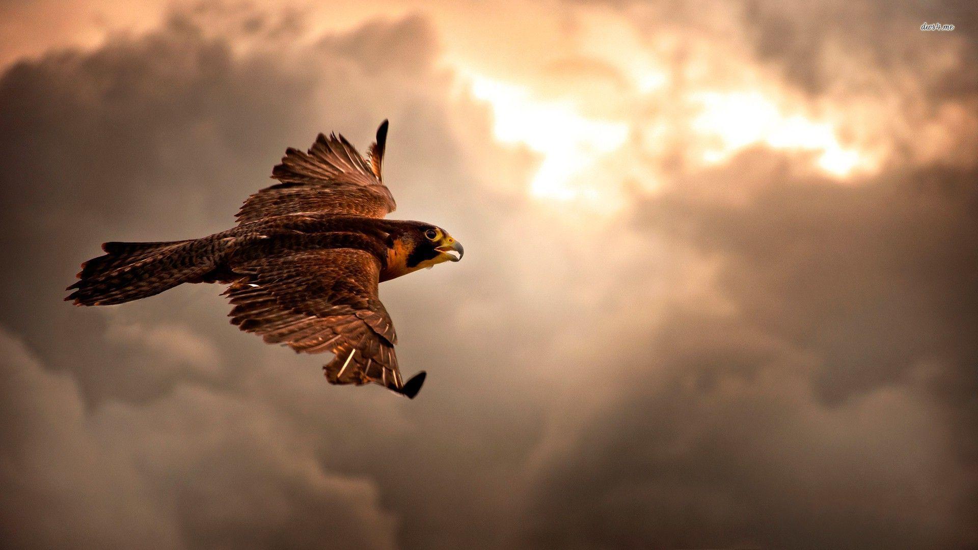 hawk hd wallpaper - photo #23