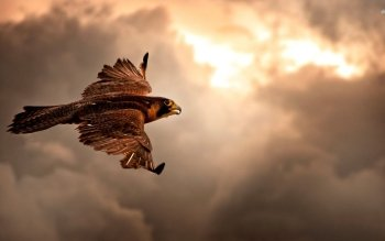 Animal - Hawk Wallpapers and Backgrounds ID : 510617