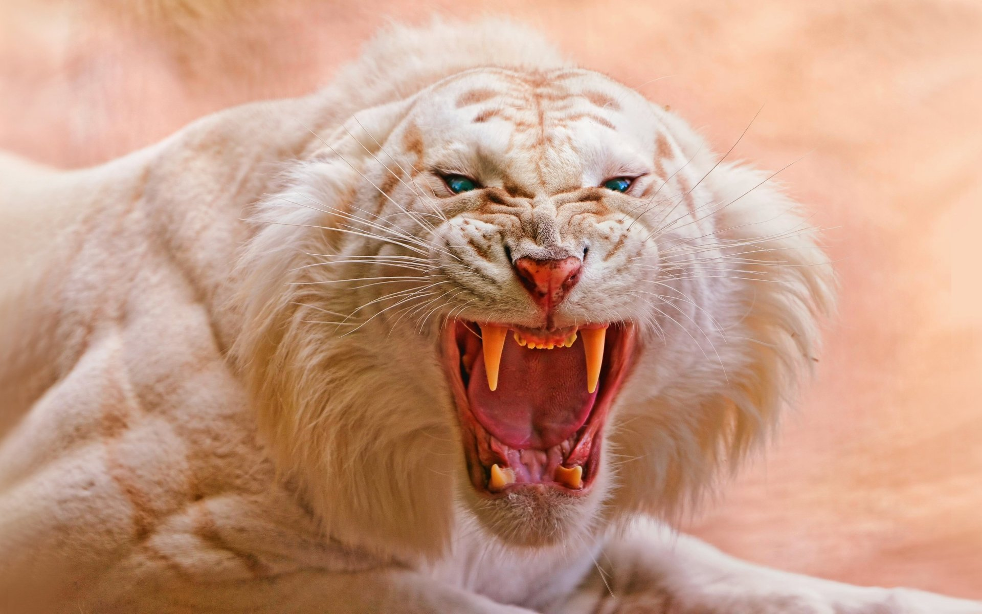 Animal - White Tiger  Siberian Tiger Animal Mammal Albino Cat Wallpaper