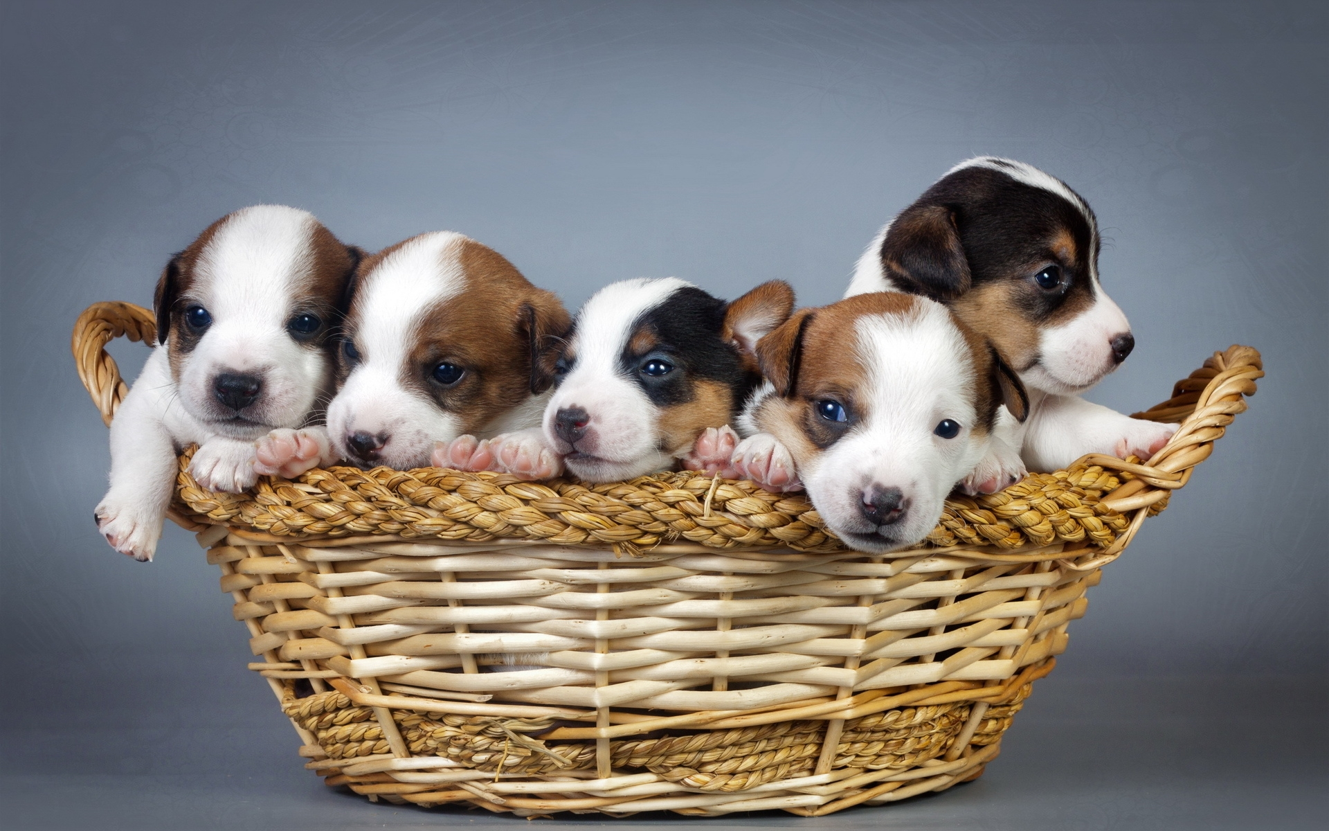 Dogs And Puppies Wallpaper Puppy Full HD Wallpape...