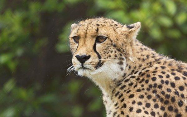 Animal Cheetah Cats Big Cat HD Wallpaper | Background Image