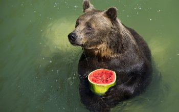 Animal - Bear Wallpapers and Backgrounds ID : 522658