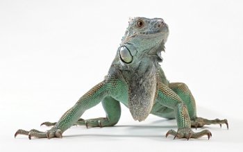 Animal - Iguana Wallpapers and Backgrounds ID : 523820