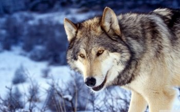 Animal - Wolf Wallpapers and Backgrounds ID : 524835