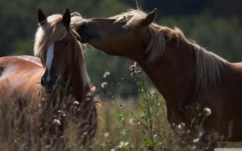 Animal - Horse Wallpapers and Backgrounds ID : 526065